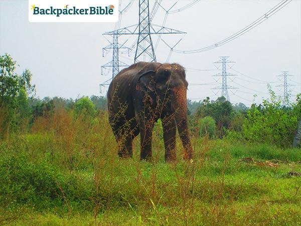 elephantroaming1