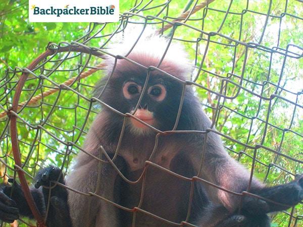 monkeygibbon1