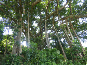 Old Ficus Tree Da Nang Travel Guide