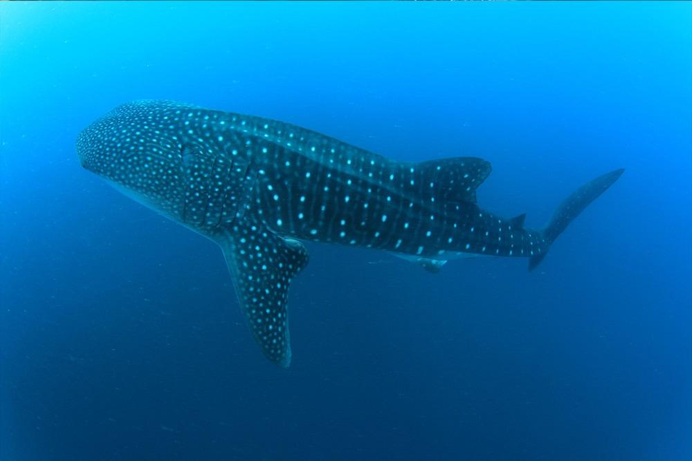 Whale Shark Philipines