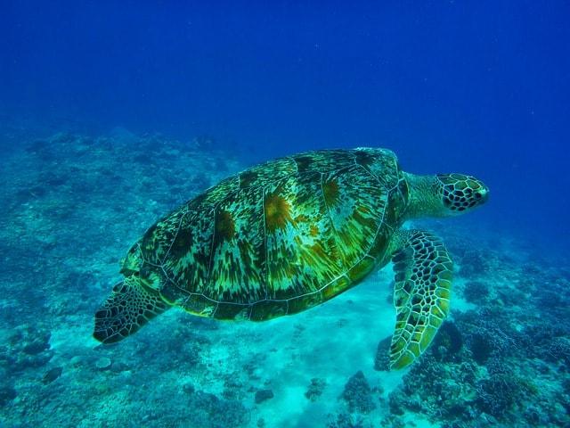 Sea Turtle The Philippines
