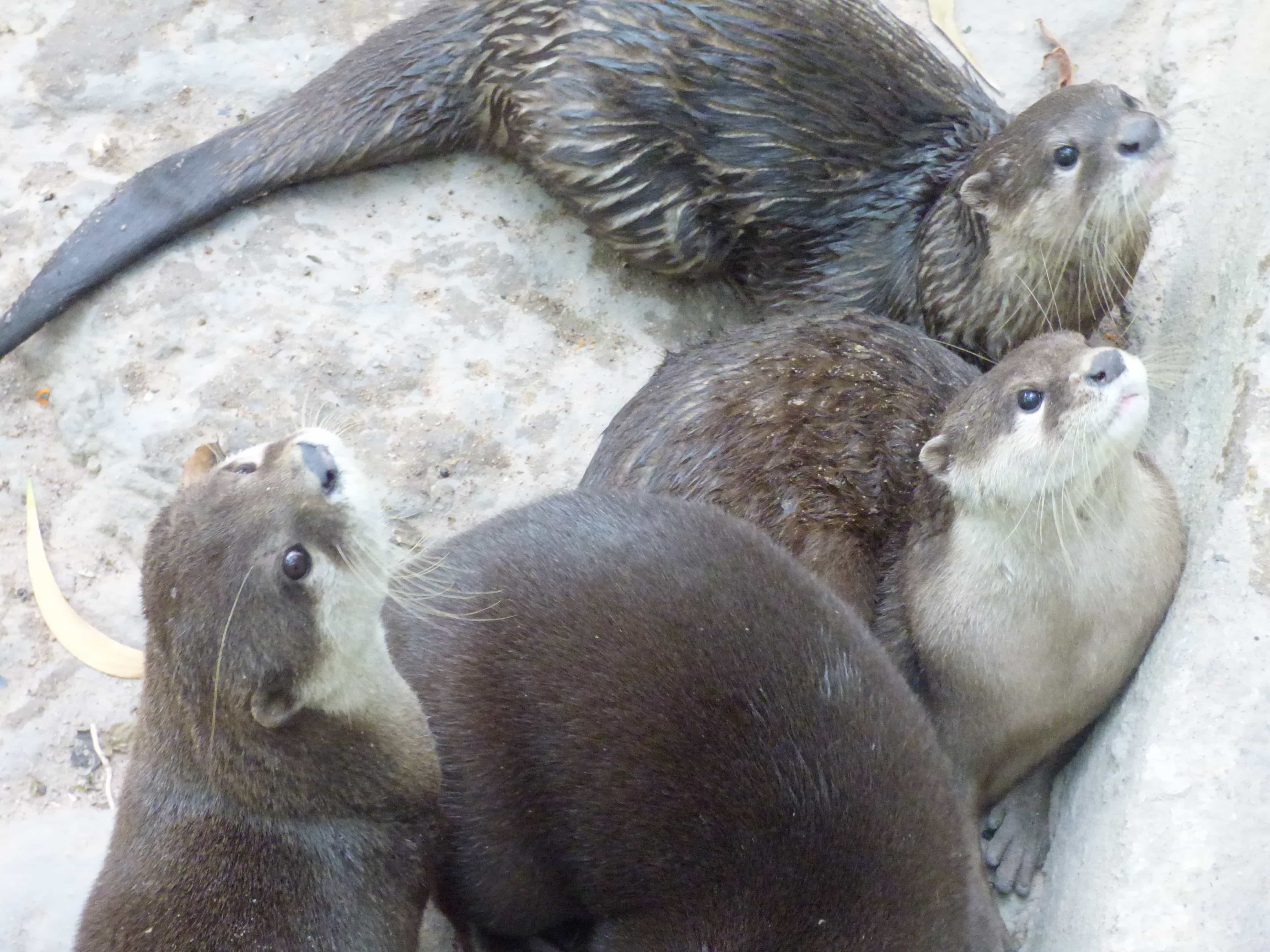 otters at the WAR rescue centre