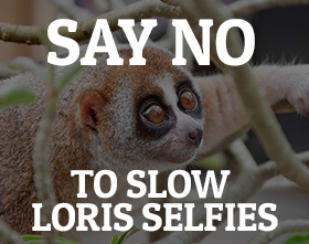 Say no to slow loris selfies