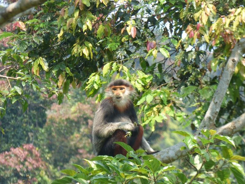 Endangered Red Shanked Duoc Langur in the wild, Da Nang