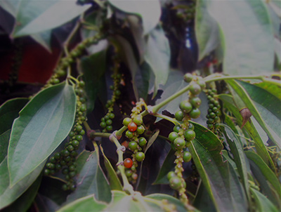 Visit a Kampot Pepper Farm