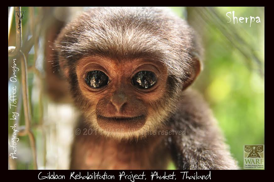The Gibbon Rehabilitation Project – Protecting Thailand's ...
