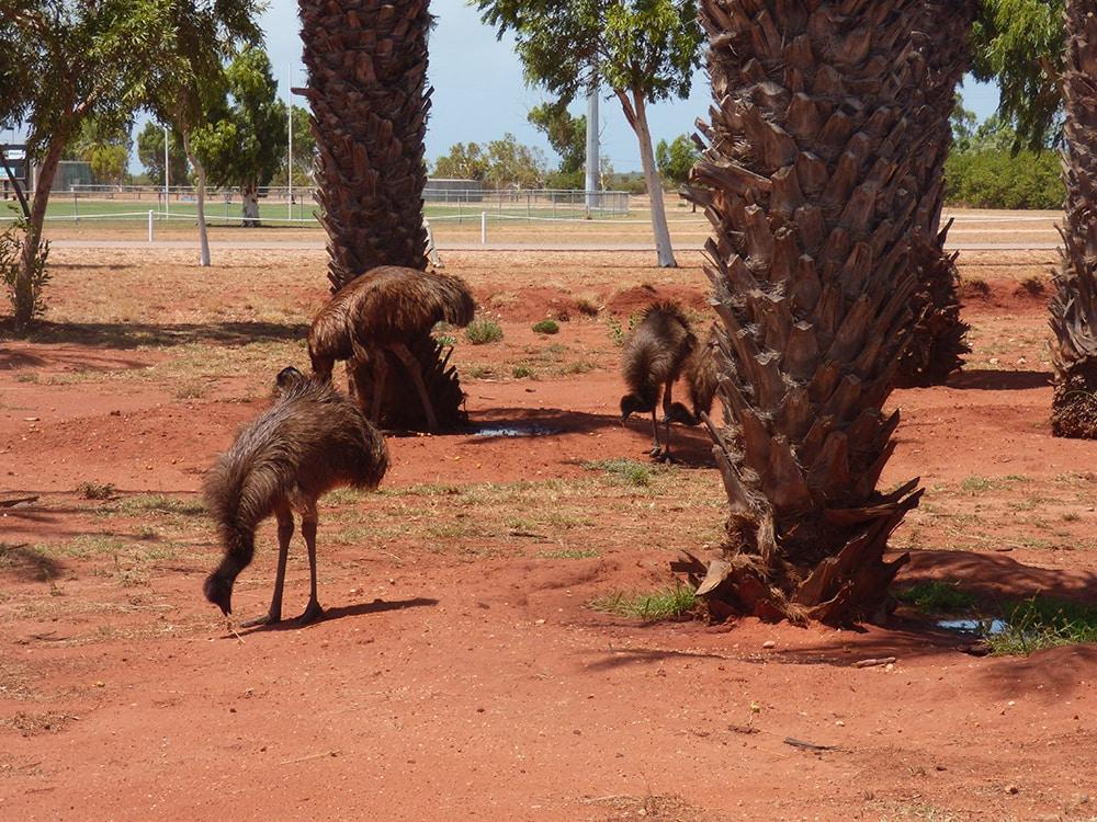 Exmouth Emus