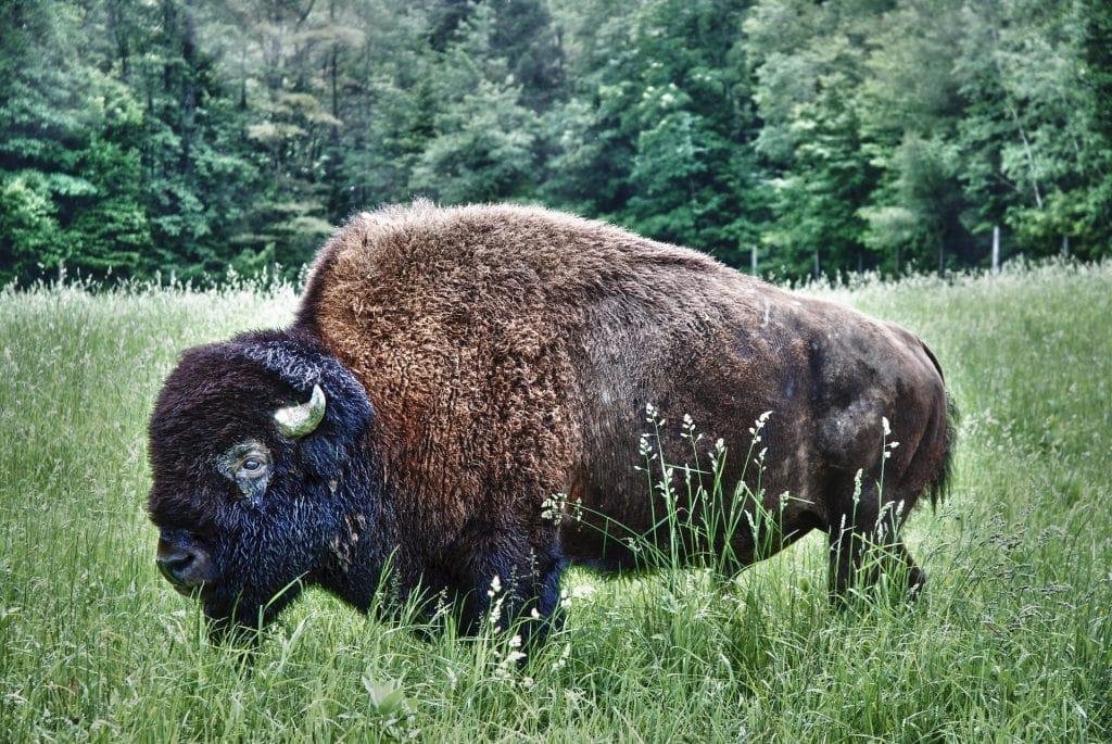 Polish Bison