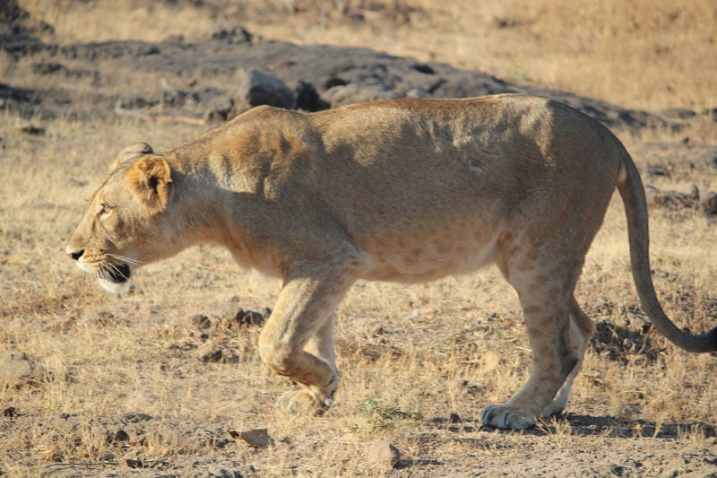 Gir National Park India